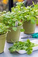 Three pots with Coriander of various stages from seedlings to fully grown
