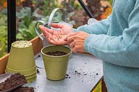 Woman carefully sowing Coriander in pot
