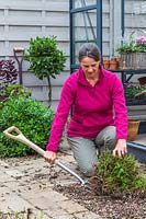 Woman using a garden fork to lift an overgrown Mentha - Mint plant from border.