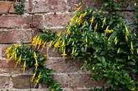 Vestia foetida syn. V. lyciodes - Chilean Box Thorn - growing against a brick wall