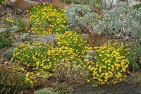 Thymophylla tenuiloba - Dahlberg Daisy - among other cushion plants in rock garden