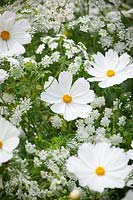 Cosmos bipinnatus 'Purity' with Ammi majus - Bullwort, Common bishop's weed.