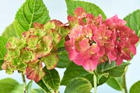 Hydrangea macrophylla Glam Rock - 'Horwack'. Young and nearly mature flowers.