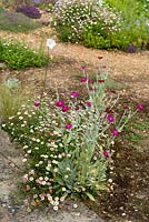 Lychnis coronaria with Erigeron karvinskianus by edge of a bed