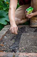Sowing Celery - Apium graveolens - seed into drills in the vegetable garden