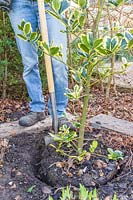 Woman using spade to dig around plants root ball - Variegated Holly - Ilex