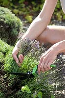 Woman harvests blooming lavender with lawn edging shears