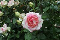 Rosa 'Diamond design'