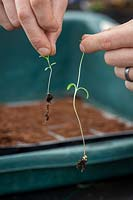 Showing the difference between healthy and etiolated cosmos seedlings - right hand seedling looks pale and drawn out due to a lack of light.