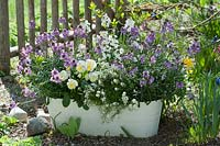 White jardiniere with mixed planting of Erysimum 'Poem Lavender', 'Rysi Moon Improved' - Wallflower, stone herb and Viola cornuta 'Etain' - Horned Violet
