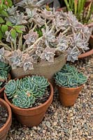 A group of potted succulents sitting on gravel mulch, Echeveria secunda and Graptopetalum paraguayense - Ghost Plant