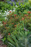Euphorbia griffithii - Griffith's Spurge, with orange bracts growing in an herbaceous perennial bed