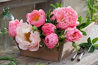 Freshly cut flowers of peony in a wooden box.