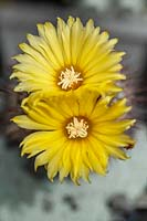Parodia cactus in bloom.