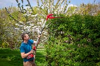 Cutting a tall hedge with a long handled hedge trimmer.