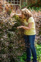 Checking for birds' nests before cutting a hedge.