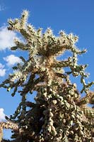 Cylindropuntia fulgida - Chain-fruit or Jumping Cholla Cactus