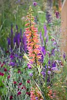 Planting of Digitalis Illumination Series, Verbena bonariensis,  Lychnis coronaria 'Gardeners' World' and Salvia nemorosa 'Amethyst' in The Cancer Research UK Garden. Pledge Pathway To Progress - RHS Hampton Court  Palace Garden Festival 2019