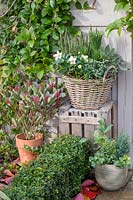 Wicker basket planted with Helleborus niger and mixed miniature conifers, Skimmia 'Perosa' in container to the left.