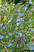 Cichorum intybus - Chicory flowers