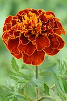 Tagetes patula 'Aurora Red' -  French marigold 'Aurora Red'