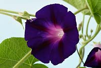 Ipomoea purpurea 'Star of Yelta'  - Morning glory 'Star of Yelta'