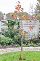 Newly planted tree with metal tree guard and stake