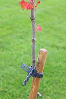 Tree seccured to stake