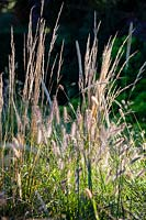 Association of Pennisetum 'Fairy Tails' and Pennisetum thunbergii 'Red Buttons' in autumn sunlight - Fountain Grass.