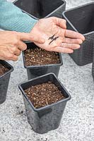 Woman sowing Basil in plastic pot