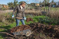 Lady stacking farmyard manure from wheelbarrow, on vegetable plot.