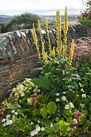 Border by stone wall including Verbascum bombyciferum 'mullein', Argyrantheum and Bergenia