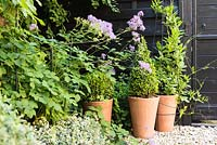 Terracotta pots of clipped box with purple flowered thalictrum against black painted shed