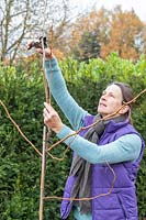 Woman pruning Gelditsia 'Sunburst' with secateurs