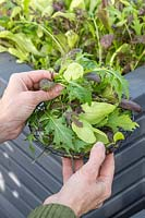 Harvesting mixed salad leaves from a raised bed