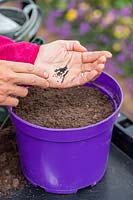 Tapping fingers on palm of hand to sow seed of Chives in a pot