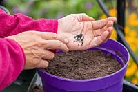 Tapping fingers on palm of hand to carefully sow seed of Chives in a pot