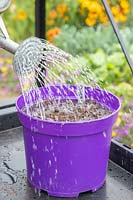 Watering newly-sown Chive seeds with watering can fitted with a rose