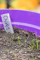 Chives seedlings emerging in a pot of compost