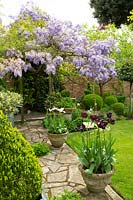 An ancient Wisteria tumbles over a wooden pergola at end of crazy paving path with pots of Tulipa - Tulip