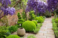 Small beds viewed through Wisteria, narrow beds between paved path and brick wall contain Buxus sempervirens - Box - topiary balls and empty pots