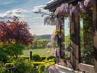 Flowering Wisteria growing on conservatory, view of garden and commercial apple orchard in the distance