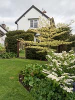 View up sloping lawn to a large mirror in front of hedge, bed with Cornus controversa 'Variegata' - Wedding Cake Tree and house beyond