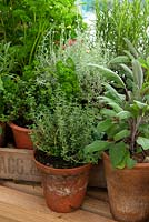 Pots of Herbs on greenhouse bench including Parsley, Thyme, Curry Plant, Rosemary and Sage - RHS Chelsea Flower Show