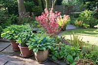 Borders in Spring with Acer palmatum, Hostas, ferns and Bergenia.