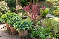Borders in Spring with Acer palmatum, Hostas, ferns and Bergenia