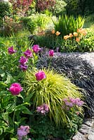 Colourful spring garden with Tulipa, Hakonechloa macra 'Aureola'  Ophiopogon planiscapus 'Nigrescens' and Aquilegia vulgaris 'Rose Barlow'