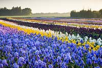 Howard Nurseries open ground bearded Iris fields in May. Iris 'Blue Rhythm' in foreground then Iris 'Berkley Gold', Iris 'Winter Olympics'