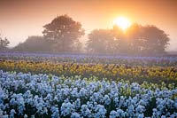 Dawn at Howard Nurseries open ground bearded Iris fields in May. Iris 'White City' in foreground.