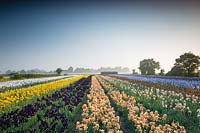 Howard Nurseries open ground bearded Iris fields in May.